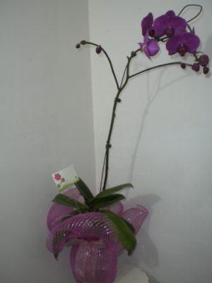planrta de orquidea varios colores 400